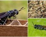 Sử dụng ruồi lính đen để xử lý rác thải